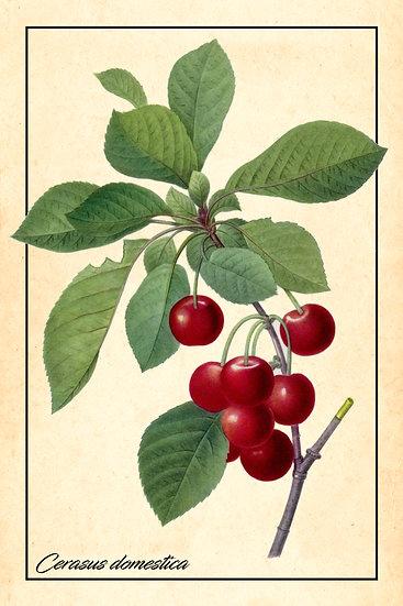 Cherry Tree Art Decor, Cherries Wall Poster, Fruit Illustration Digital Download