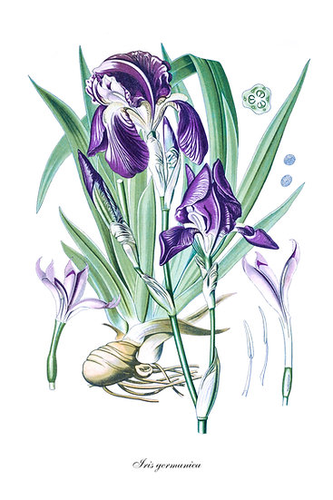 Bearded Iris Digital Download, Iris Printable Poster, Botanical Wall Art