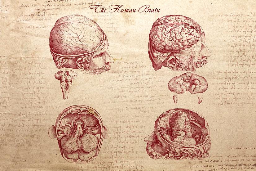 Human Brain Poster, Da Vinci Anatomy, Head Anatomy, Brain Art Digital Download