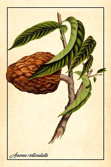 Annona Reticulata Poster, Botanical Wall Decor, Wild Sweetsop Digital Download