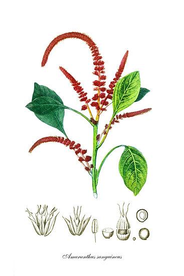 Amaranthus Botanical Poster, Distressed Farmhouse Digital Download