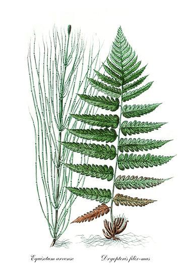 Equisetum Arvense & Fern Poster, Botanical Prints Digital Download