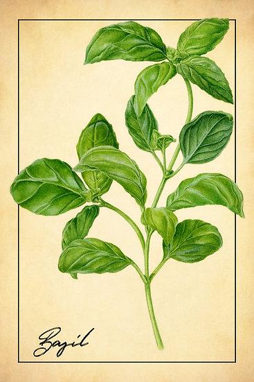 Basil Botanical Poster, Farmhouse Kitchen, Basil Print Digital Download