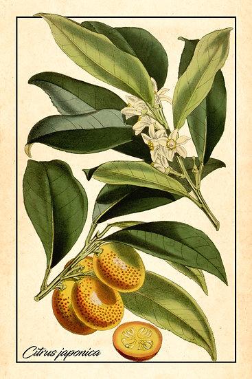 Kumquat Tree Botanical Print, Citrus Japonica Poster Digital Download