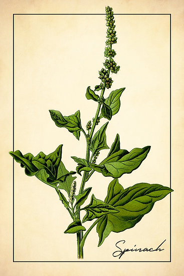 Spinach Botanical Print, Farmhouse Kitchen, Spinach Poster Digital Download