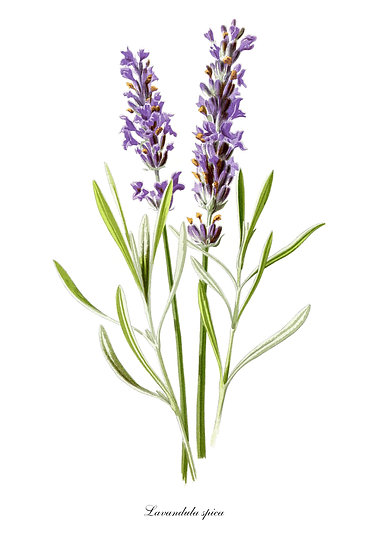 Lavender Botanical Poster, Distressed Decor, Botanical Print Digital Download