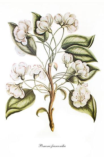 Apple Tree Botanical Print, Apple Blossom Wall Decor Digital Download