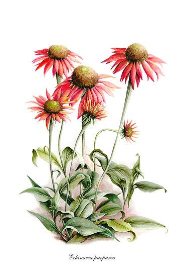 Echinacea Purpurea Botanical Print, Farmhouse Wall Decor Digital Download