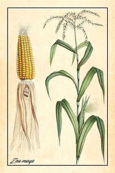 Corn Botanical Poster, Corn Print Digital Download, Kitchen Home Decor
