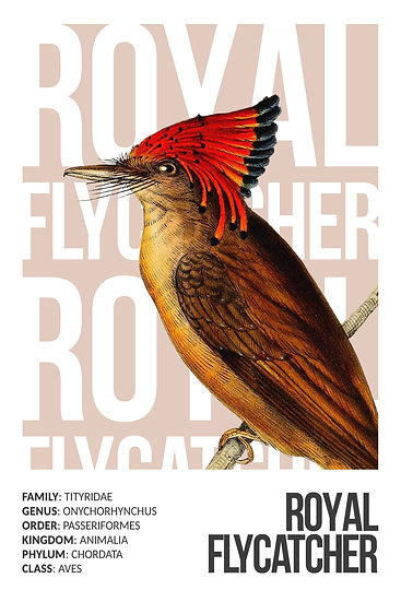 Royal Flycatcher Bird Poster, Exotic Birds, Tropical Bird Print Digital Download
