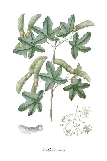Maple Poster, Botanical Wall Art, Maple Leaf Print Digital Download