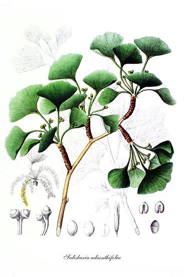 Salisburia Adianthifolia Botanical Poster, Ginkgo Tree Digital Download
