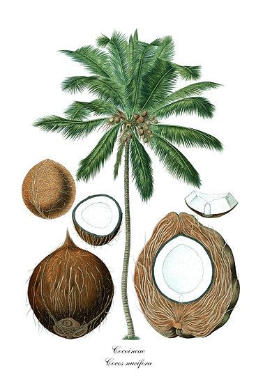 Coconut Print, Botanical Wall Art, Kitchen Decor Digital Download