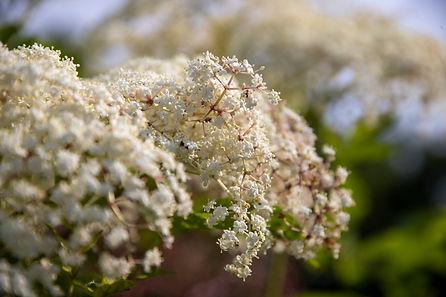 Elderberries_ABC_20210709_0163.jpg