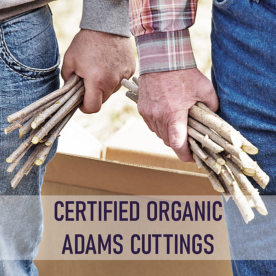 100pk Certified Organic Elderberry Cuttings - Adams