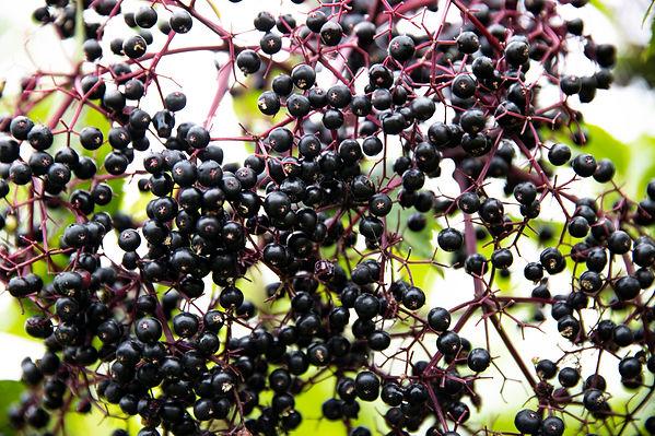 210819_ABC_elderberries_0222.jpg