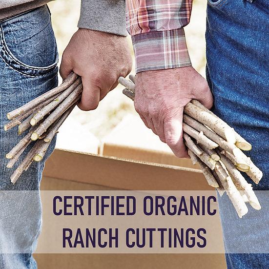 100pk Certified Organic Elderberry Cuttings - Ranch