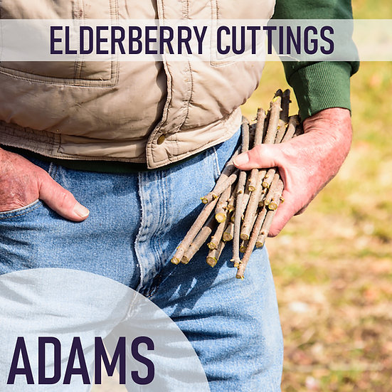 PRE SALE 3pk Elderberry Cuttings - Adams