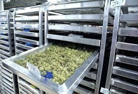 The future of Cannabis production: Tackling Curing & Storing