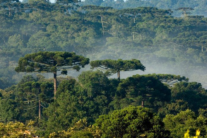 D-FR0060-Floresta-com-Araucária-Turvo-PR