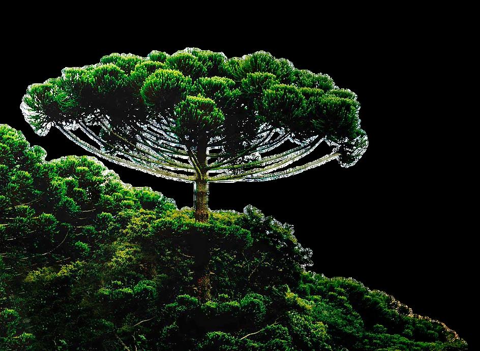 araucaria.png