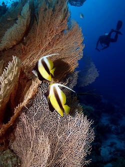 Yellow Banner Fish - 3rd Digital