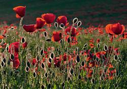 Poppies - 2nd Digital