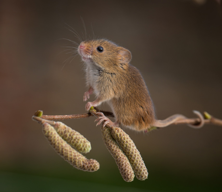 Harvest Mouse - 2nd Digital