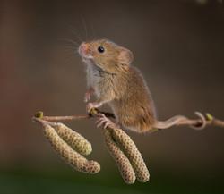 Harvest Mouse - 2nd Digital
