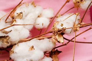 Cotton stalk.jpg
