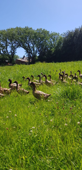 Laying ducks .jpg