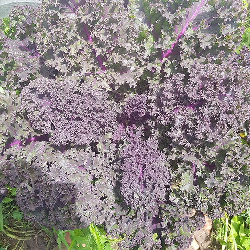 Purple curly Kale