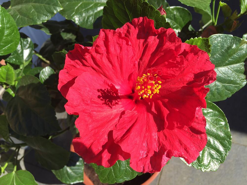 Hibiskusblüte, Mahapoorna Atma Yoga, Seelen-Yoga