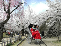 桜と人力車