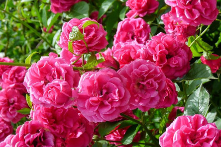 El perfume, otro regalo que nos dan las flores.