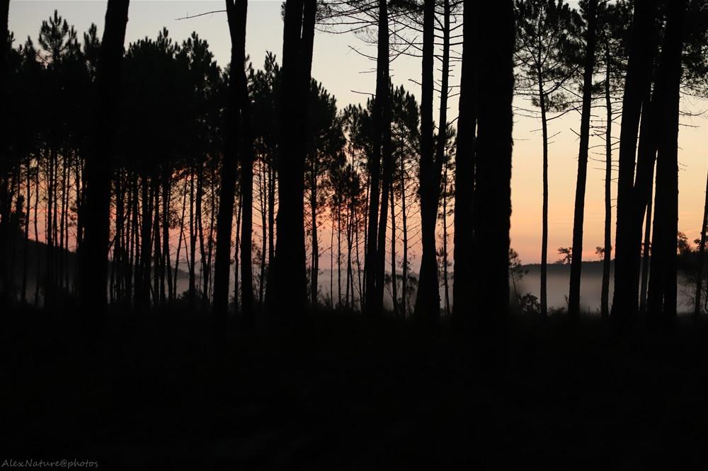 Lever du jour dans les pins