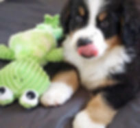 Bernese Mountain Puppies For Sale.
