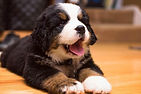 Cheap Bernese Mountain Puppies For Sale