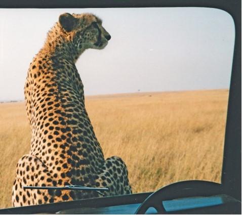 Kike the cheetah sitting on the bonnet of a jeep in the Maasai Mara