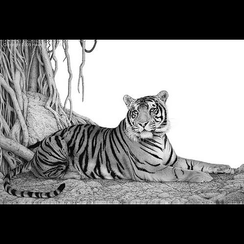 Bengal Tiger lying beneath a Banyon tree