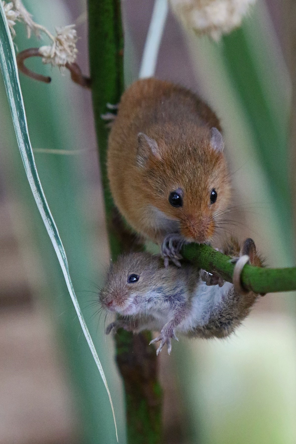 Photo of mummy harvest mouse and her baby