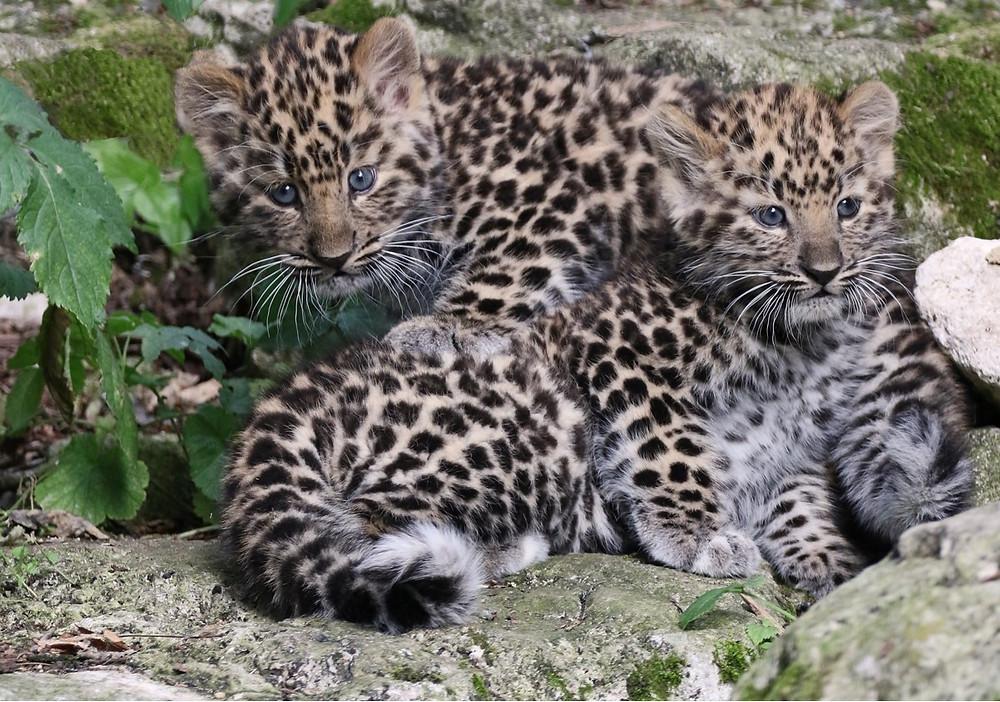 Two Amur leopard cubs, huddling together on a rock.