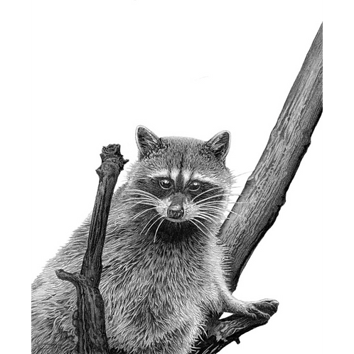 Racoon sat in branches of a tree looking directly at the viewer