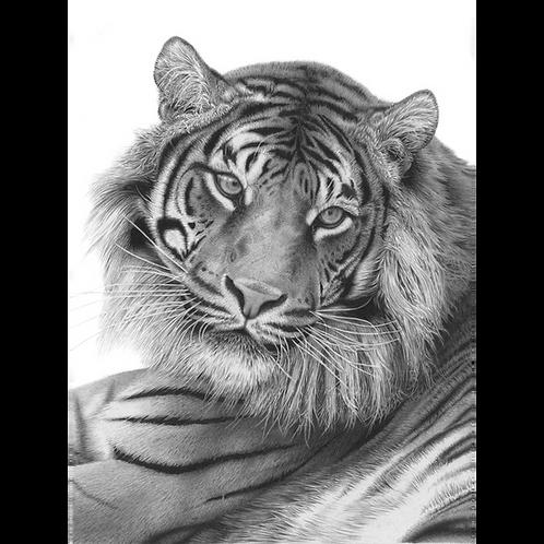 Sumatran Tiger looking back over it's left shoulder, head portrait