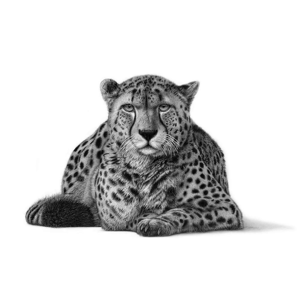 Drawing of a cheetah laying down gazing forward, by David Dancey-Wood