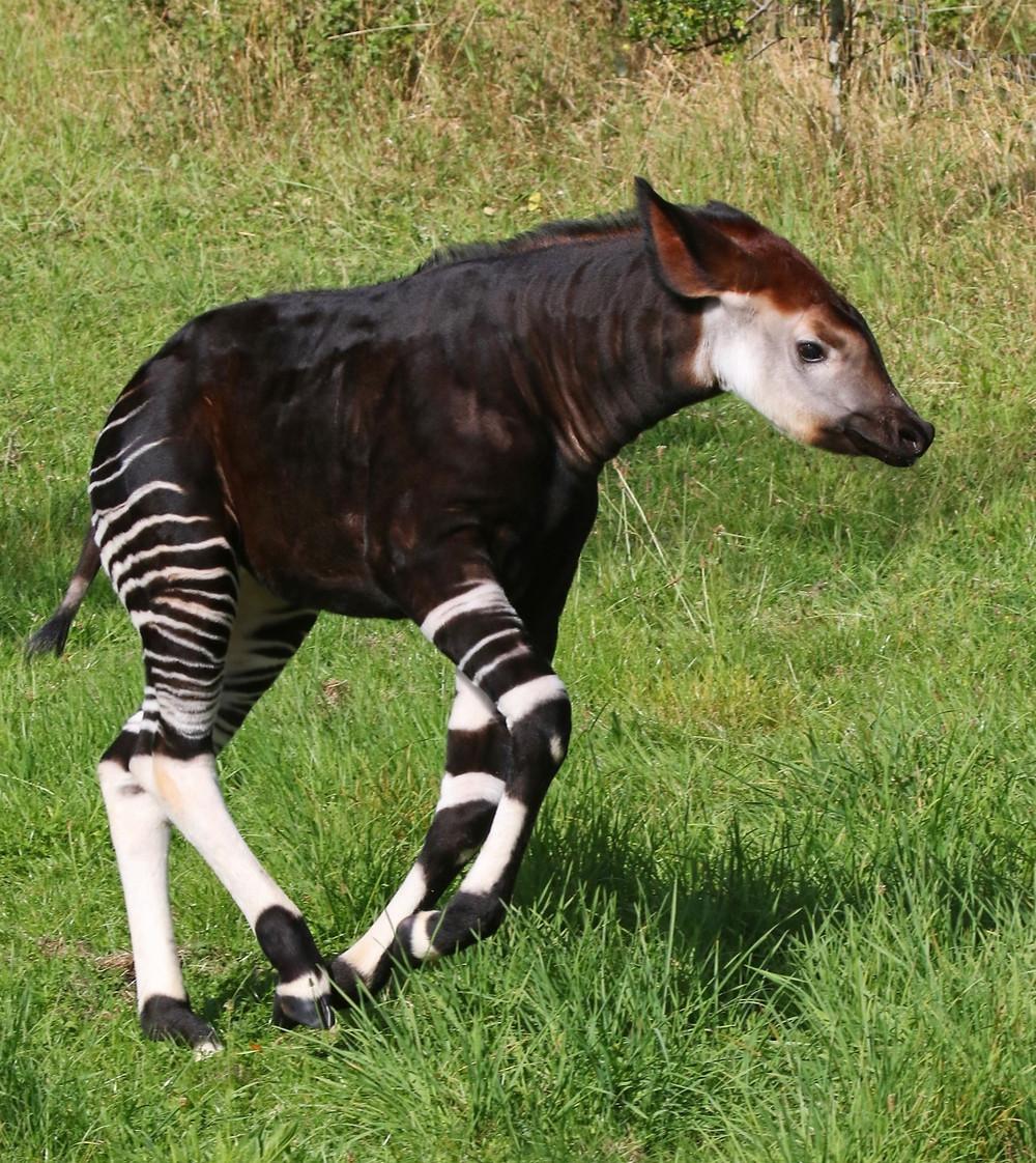 A baby Okapi in stride in the grass