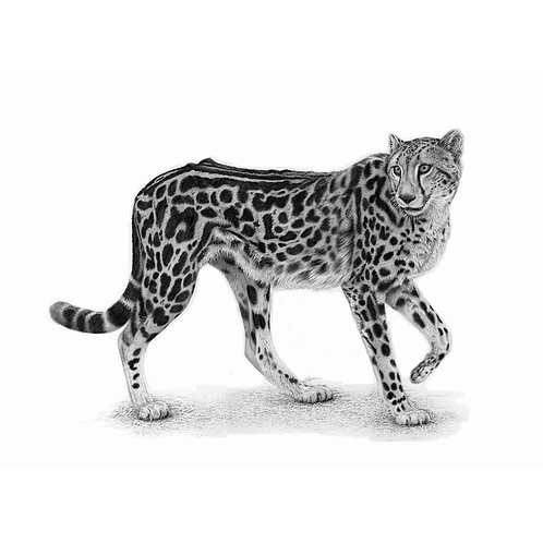 Drawing of a standing King Cheetah, by David Dancey-Wood