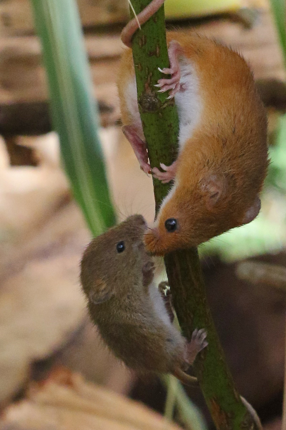 Photo of two harvest mice climbing a wheat stalk