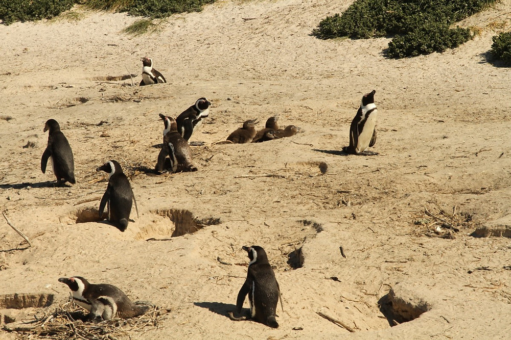 Penguins nesting in the sand at Boulder's Beech