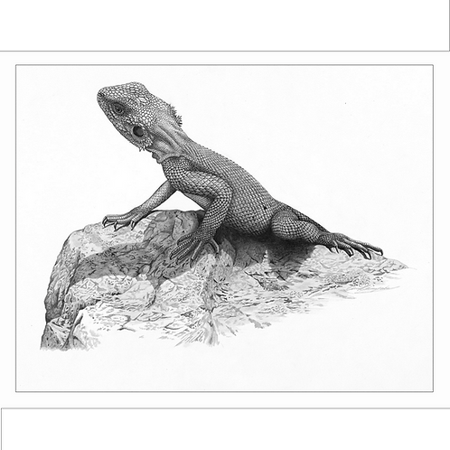 Detailed drawing of an Agama lizard basking on a rock in bright sunlight